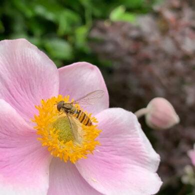 Macrofotografie: zweefvlieg op een bloem